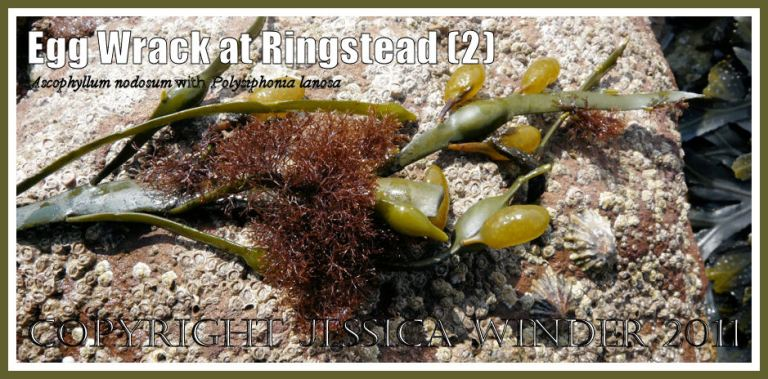 Egg or Knotted Wrack, Ascopyllum nodosum (Linnaeus) Le Jolis, with attached tufts of the red seaweed Polysiphonia lanosa (Linnaeus) Tandy at Ringstead Bay, Dorset, UK - part of the Jurassic Coast (2)