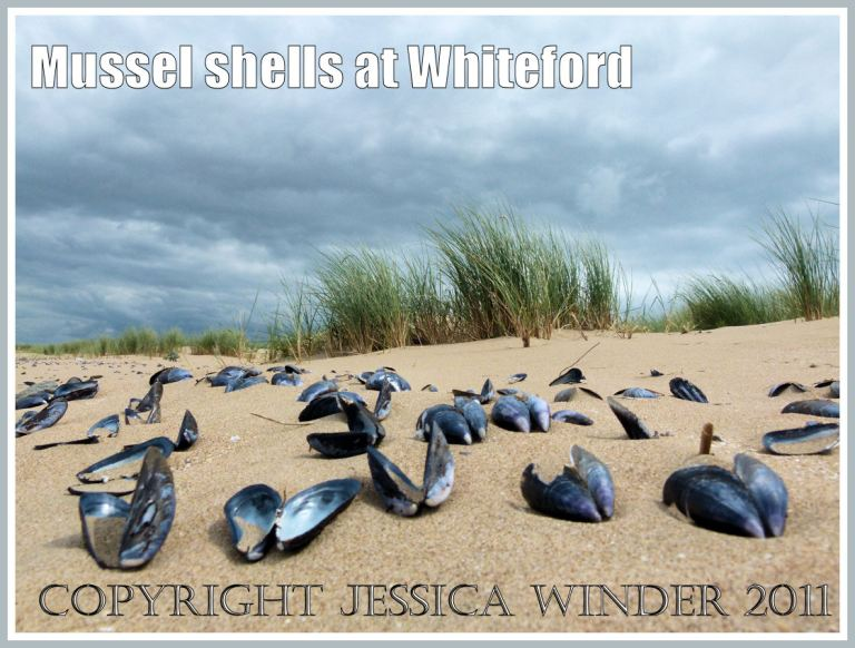Mussel shells (Mytilus edulis Linnaeus) on the beach at Whiteford Sands, Gower, South Wales, UK (5)