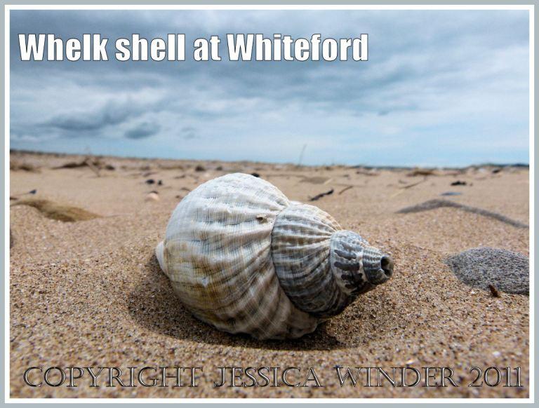 Whelk seashell (Buccinum undatun Linnaeus) on the beach at Whiteford Sands, Gower, South Wales, UK (2)