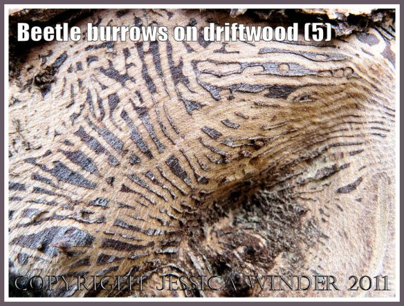 Pattern of beetle larvae tunnels beneath the bark of driftwood at Osmington Bay, Dorset, UK, part of the Jurassic Coast (5)