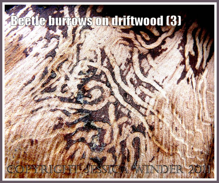 Patterns of beetle larvae tunnels beneath the bark of driftwood at Osmington Bay, Dorset, UK (3)