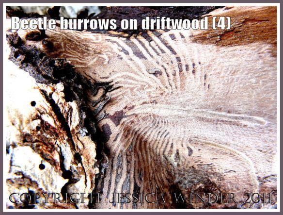 Pattern of beetle larvae tunnels beneath the bark of driftwood at Osmington Bay, Dorset, UK, part of the Jurassic Coast (4)