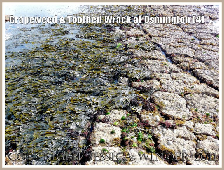 Strip of mostly bown Fucoid seaweeds on Frenchman's Ledge, Osmington Bay, Dorset, UK, part of the Jurassic Coast (4)