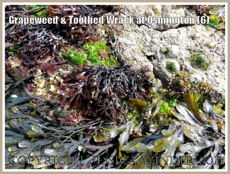 Tuft of the red seaweed Grapeweed, Mastocarpus stellatus, at the edge of the Toothed Wrack bed, on Frenchman's Ledge at Osmington Bay, Dorset, UK, part of the Jurassic Coast (6)