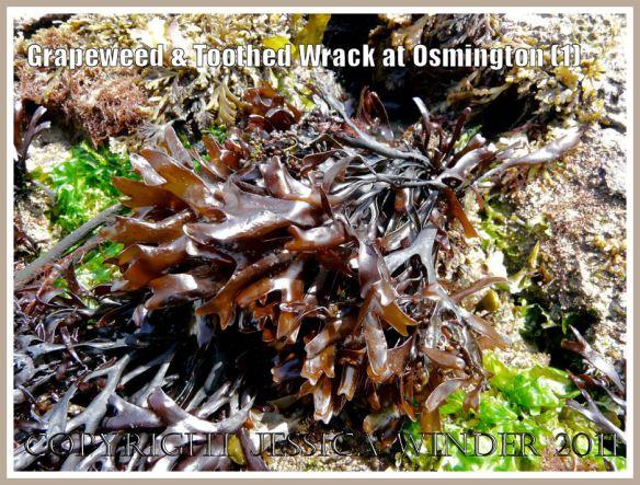 Grapeweed, Mastocarpus stellatus (Stackhouse), on Frenchman's Ledge at Osmington Bay, Dorset, UK, part of the Jurassic Coast (1)