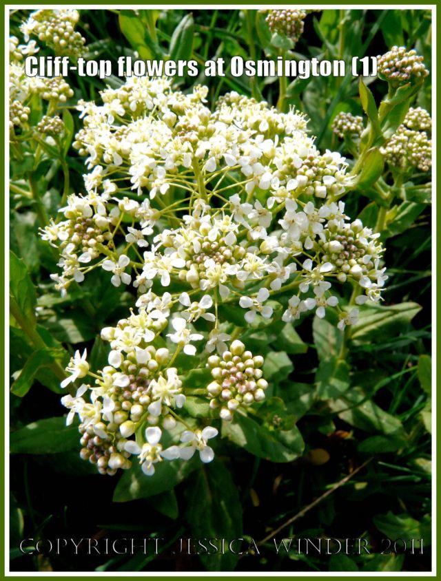 Lepidium Appelianum Flower