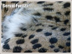 Patterns in nature: The spotted fur on a sleeping Serval (Leptailurus serval) at London Zoo (2)