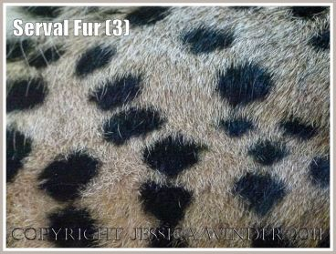 Fur texture and pattern: The spotted fur on a sleeping Serval (Leptailurus serval) at London Zoo (3)