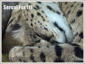 Sleeping Serval cat (Leptailurus serval) at London Zoo (1)