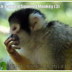 Black-capped Squirrel Monkey (Saimiri boliviensis) at London Zoo (3)
