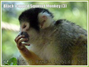 Black-capped Squirrel Monkey (Saimiri boliviensis) at London Zoo (3)
