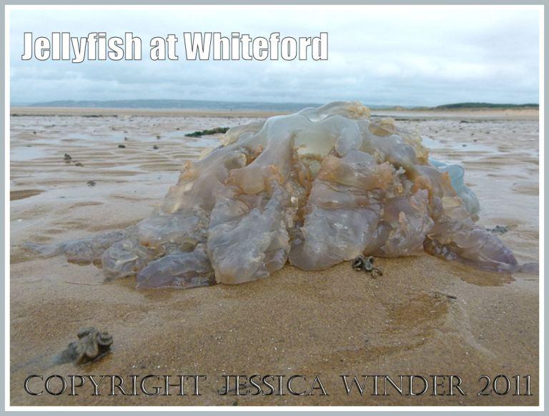 Jellyfish (Rhizostoma octopus Linnaeus) washed ashore at Whiteford Sands, Gower, South Wales, UK (4)