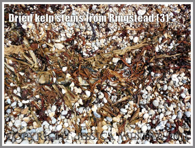 Kelp and other seaweeds drying out on the shingle strandline at Ringstead Bay, Dorset, UK - part of the Jurassic Coast (3)