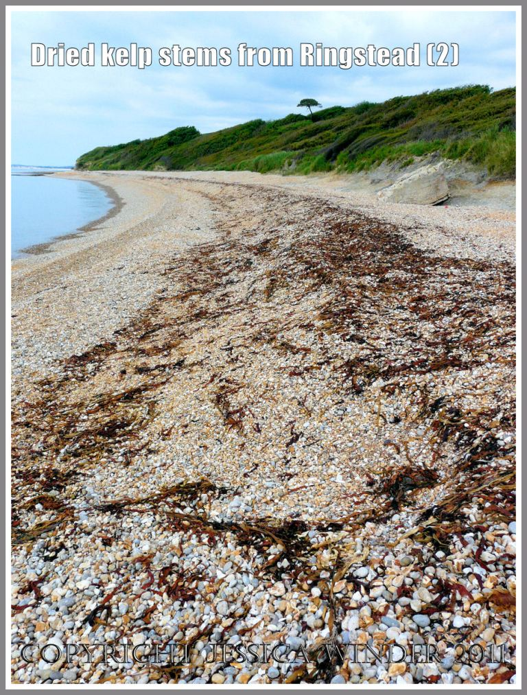 Kelp drying out on the shingle strandline at Ringstead Bay, Dorset, UK - part of the Jurassic Coast (2)