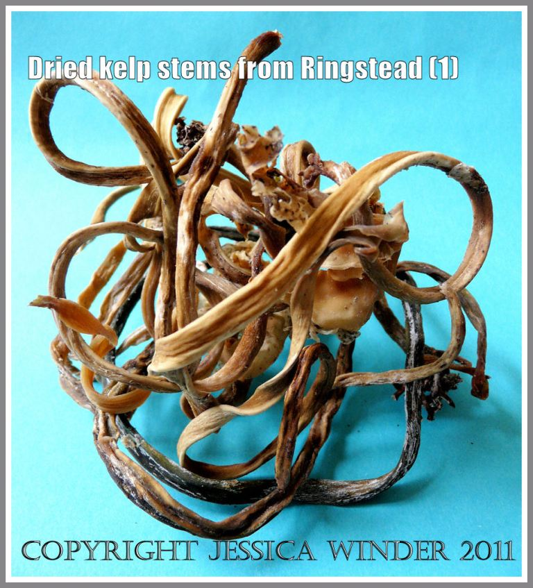 Dried twisted kelp stems from Ringstead Bay, Dorset, UK - part of the Jurassic Coast (1)