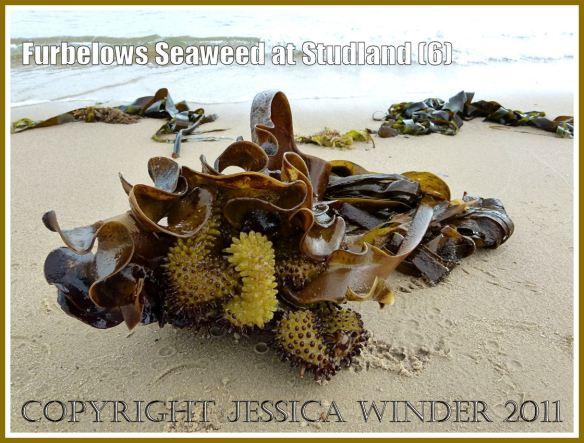 Furbelows seaweed (Saccorhiza polyschides (Lightfoot) Batters, washed ashore at Studland Bay, Dorset, UK, on the Jurassic Coast 30.08.2011 (6)