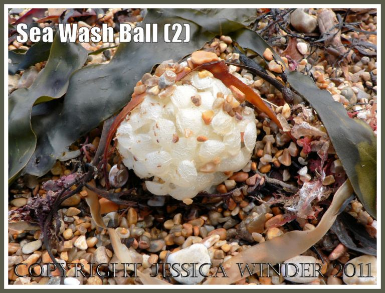 Sea Wash Ball, empty egg cases of the marine gastropod mollusc called the Common Whelk (Buccinum undatum L.) on beach gravel with seaweeds at Ringstead Bay, Dorset, UK on the Jurassic Coast (2)
