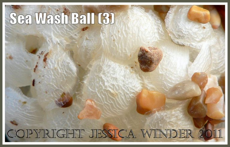 Sea Wash Ball close-up, empty egg cases of the marine gastropod mollusc called the Common Whelk (Buccinum undatum L.) on beach gravel with seaweeds at Ringstead Bay, Dorset, UK on the Jurassic Coast (3)