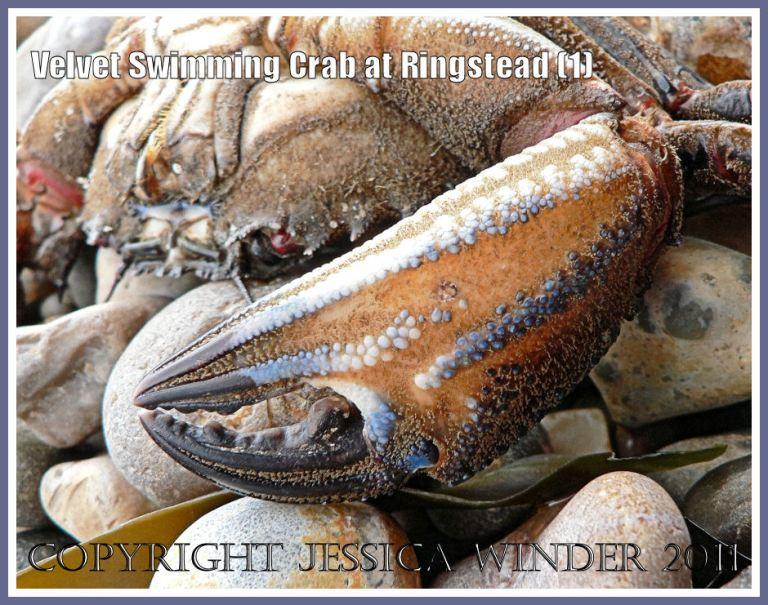 Velvet Swimming Crab: Velvet Fiddler, Swimming or Devil Crab - Necora puber (Linnaeus), washed up on the shingle shore at Ringstead Bay, Dorset, UK on the Jurassic Coast (1)