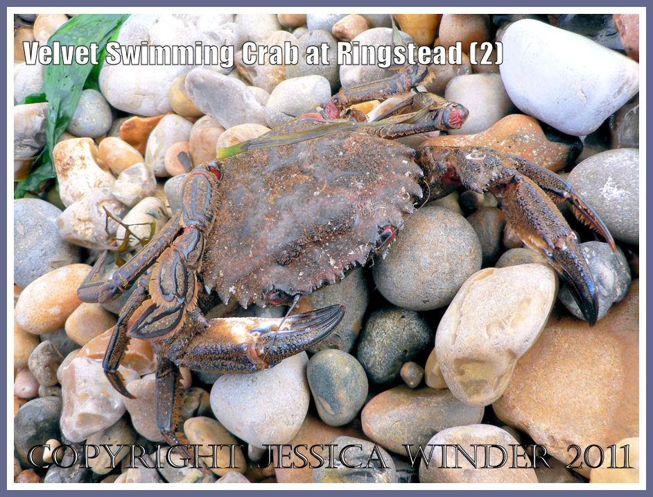Dorset crabs: Velvet Fiddler, Swimming or Devil Crab - Necora puber (Linnaeus), washed up on the shingle shore at Ringstead Bay, Dorset, UK on the Jurassic Coast (2)