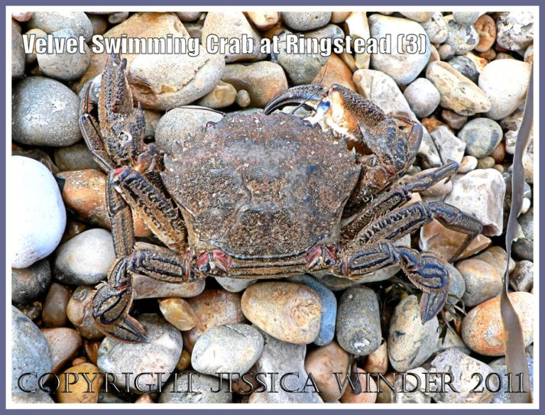 Ringstead Bay crab: Velvet Fiddler, Swimming or Devil Crab - Necora puber (Linnaeus), washed up on the shingle shore at Ringstead Bay, Dorset, UK on the Jurassic Coast (3)