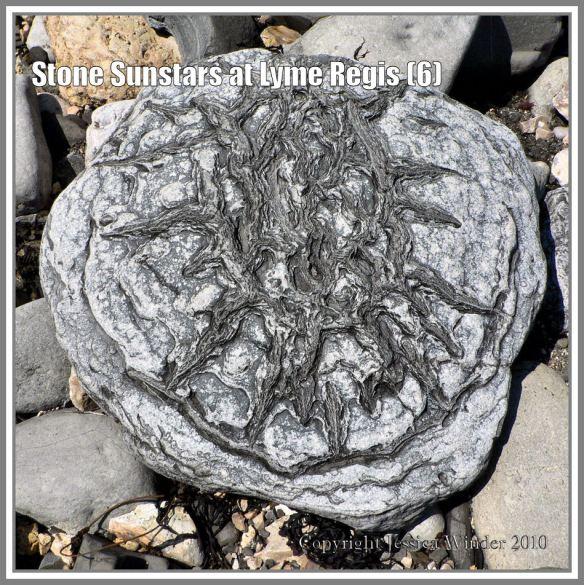 Sunstar stone from Lyme Regis, Dorset, UK, on the Jurassic Coast (6)