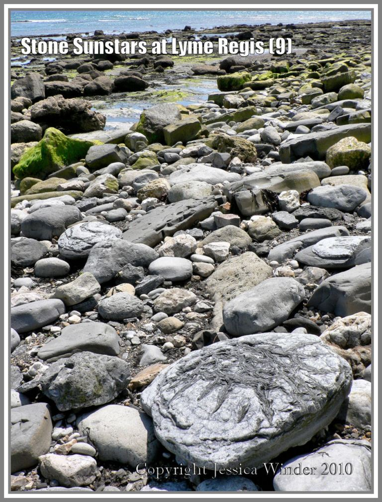Sunstar stone amongst the other boulders on Monmouth Beach at Lyme Regis, Dorset, UK, on the Jurassic Coast (9)
