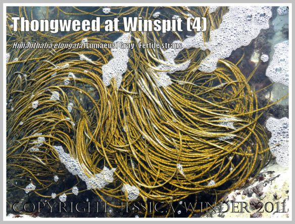 Loosely coiled strands of long, mottled yellow-green reproductive straps of Thongweed, floating in a deep rock pool at Winspit, Dorset, UK - part of the Jurassic Coast (4)