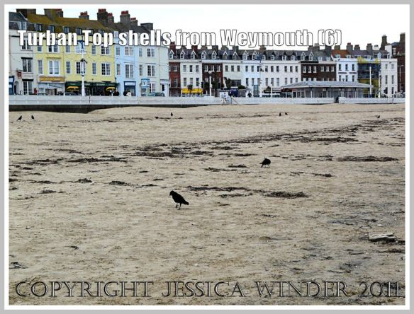 Paired black birds picking over the organic debris on the strandline on a particularly dismal winter day at Weymouth , Dorset, UK - part of the Jurassic Coast (6)