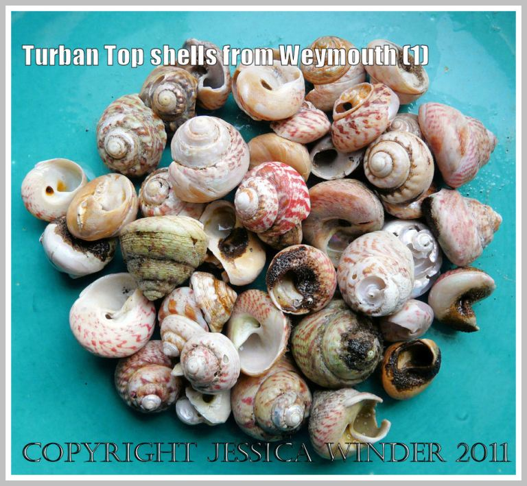 An assortment of Turban Top Shells washed out by winter waves from rotted seaweed lying buried under sand at Weymouth, Dorset, UK - part of the Jurassic Coast (1)