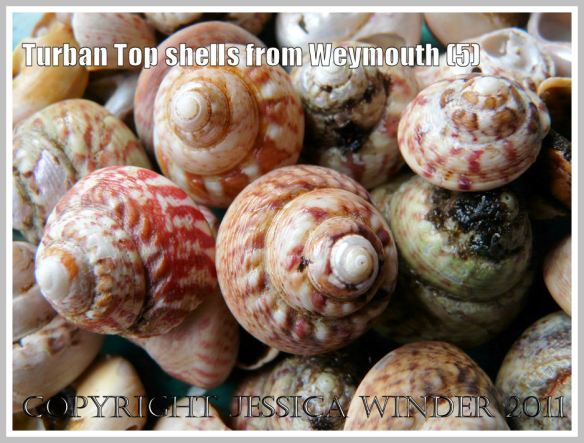 An assortment of Turban Top Shells, mostly showing the apices and spiral whorls, from a buried strandline beneath the sand at Weymouth, Dorset, UK - part of the Jurassic Coast (5)