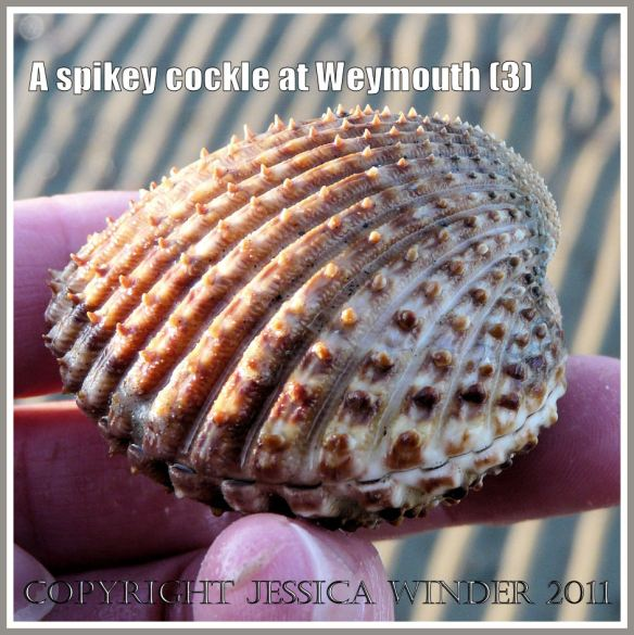 A different view of a living cockle with spines on the shell from Weymouth Bay, Dorset, UK, part of the Jurassic Coast (3)