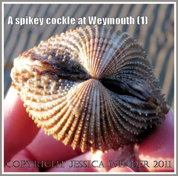 A living cockle with spines on the shell from Weymouth Bay, Dorset, UK, part of the Jurassic Coast (1)