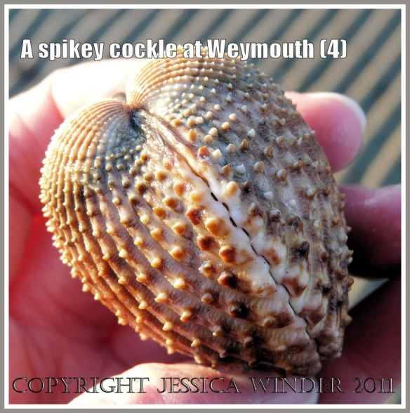 Another aspect of a living cockle with spines on the shell from Weymouth Bay, Dorset, UK, part of the Jurassic Coast (4)