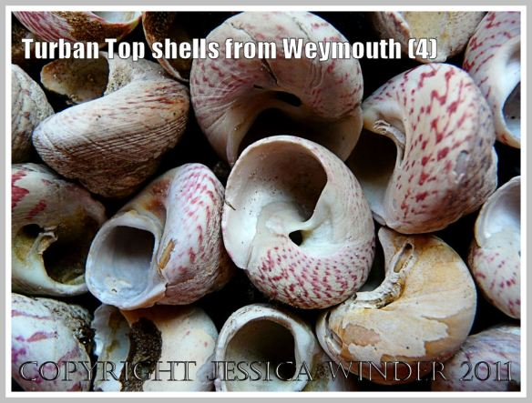 An assortment of Turban Top Shells, mostly showing the underside, from a buried strandline beneath the sand at Weymouth, Dorset, UK - part of the Jurassic Coast (4)