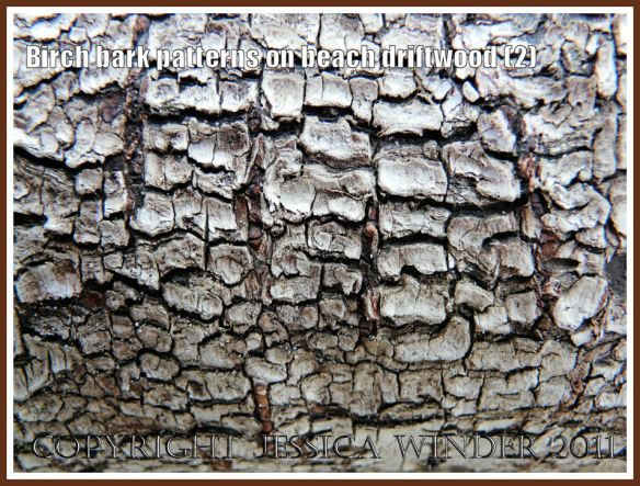 Coarse, dark, reticulated Birch bark pattern on driftwood from the strandline at Whiteford Sands, Gower, West Glamorgan, UK, (2)