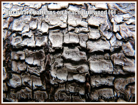 Rough reticulated pattern in Birch bark on driftwood found atWhiteford beach, Gower, West Glamorgan, UK (6)
