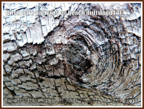 Natural rough dark pattern around a knot in Birch tree bark on driftwood at Whiteford Sands, Gower, West Glamorgan, UK (4)