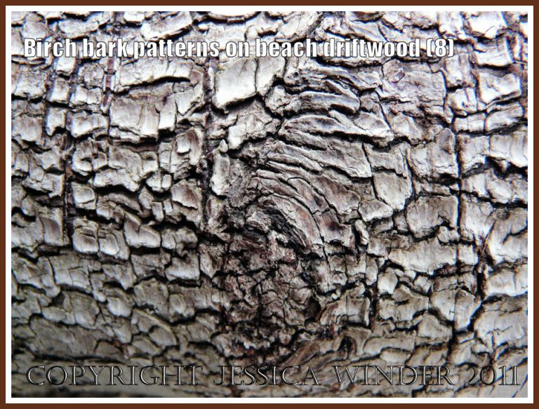 Silver Birch bark pattern and texture on driftwood from the strandline at Whiteford Sands, Gower, West Glamorgan, UK (8)