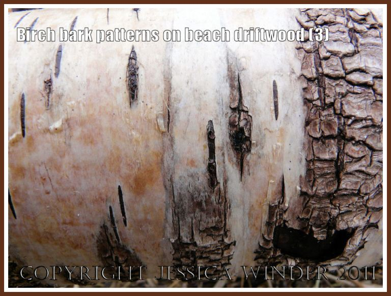 Contrasting light and dark colours, smooth and rough textures, and abstract versus reticulated pattern on a piece of Birch tree bark on driftwood at Whateford Sands, Gower, West Glamorgan, UK (3)