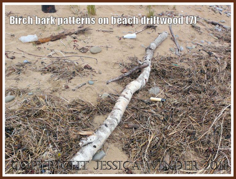 Silver Birch driftwood on the strandline at Whiteford Sands, Gower, West Glamorgan, UK (7)