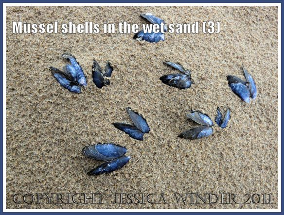 Empty mussels shells (Mytilus edulis L.) in the rain-pitted wet sand at Whiteford, Gower, West Glamorgan, UK (3)