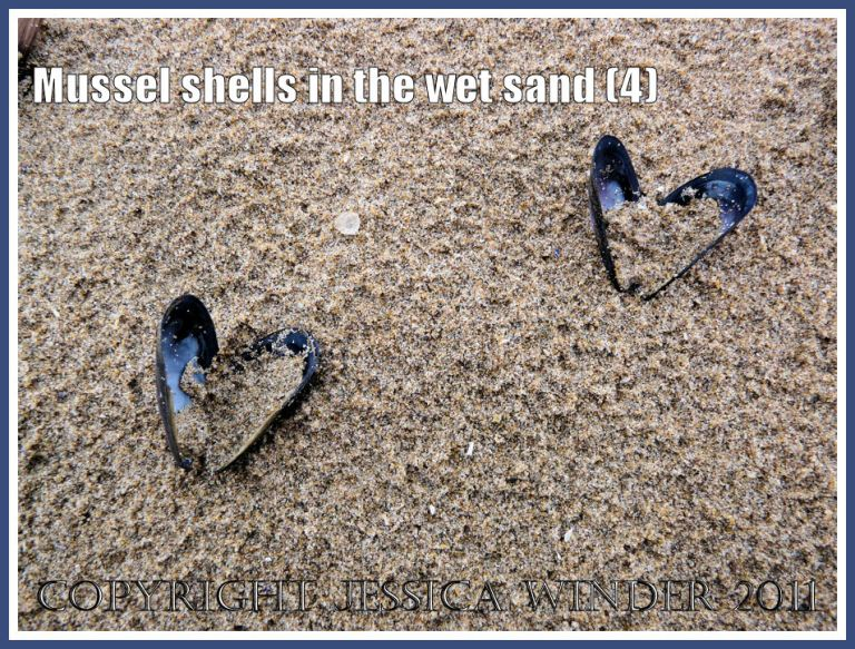 Two empty mussels shells (Mytilus edulis L.) in the rain-pitted wet sand at Whiteford, Gower, West Glamorgan, UK (4)