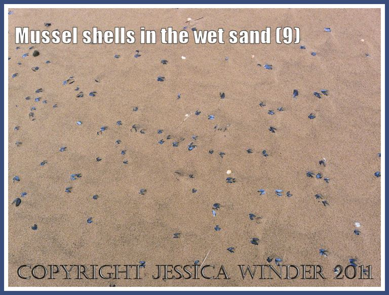 Some of the many thousands of empty mussel shells (Mytilus edulis L.) scattered across the beach in the rain-pitted wet sand at Whiteford, Gower, West Glamorgan, UK (9)