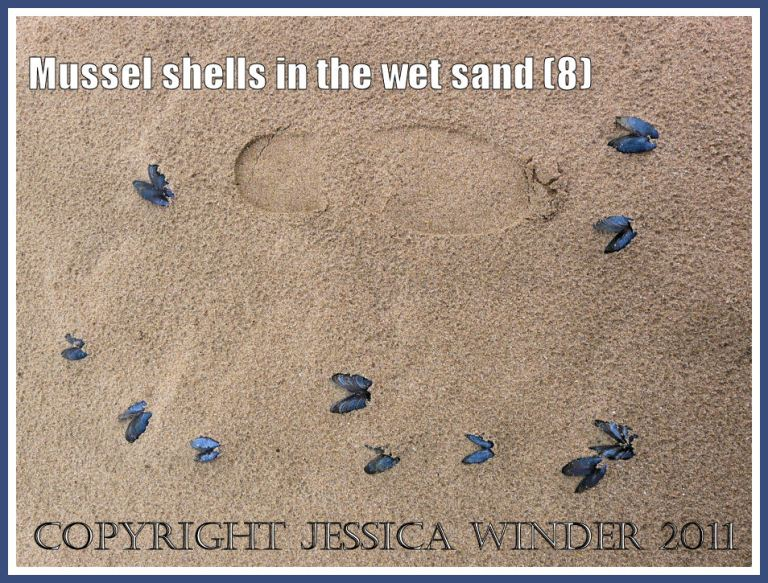 Empty mussel shells (Mytilus edulis L.) with a footprint in the rain-pitted wet sand at Whiteford, Gower, West Glamorgan, UK (8)