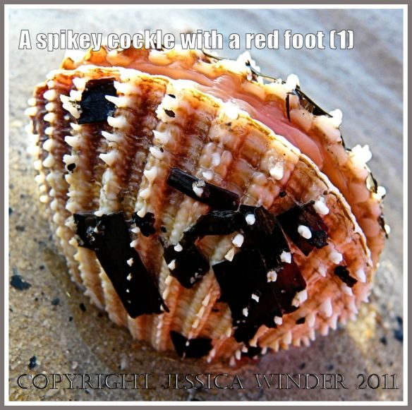 A Prickly Cockle with Eelgrass stuck to its shell at Studland Bay, Dorset, UK - part of the Jurassic Coast (1)