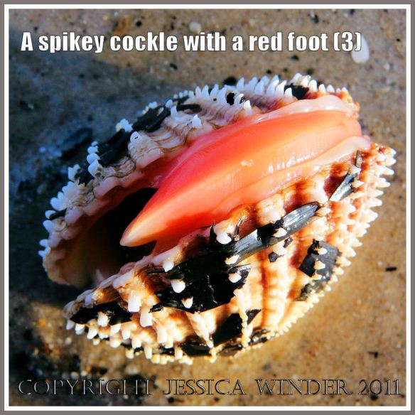 A Prickly Cockle with the red foot just beginning to emerge from the gaping shell at Studland Bay, Dorset, UK - part of the Jurassic Coast (3)