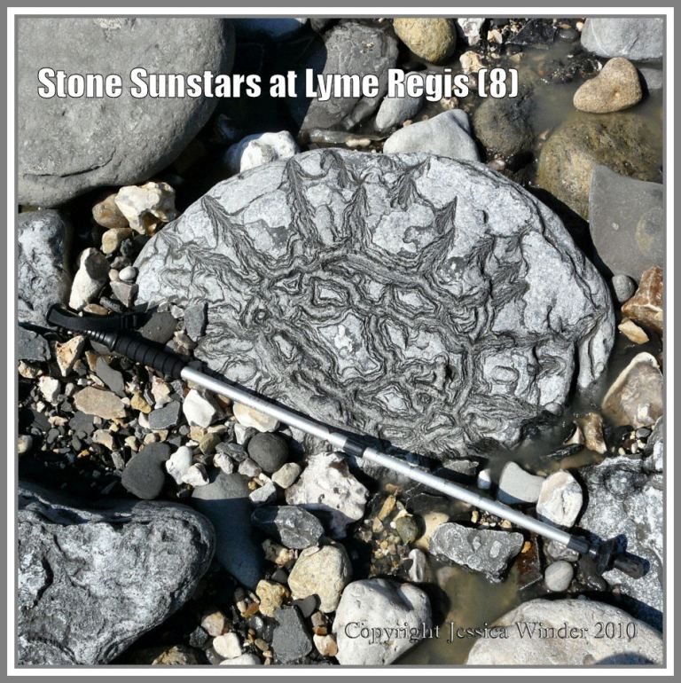 Sunstar stone (with walking stick to show scale) at Lyme Regis, Dorset, UK, on the Jurassic Coast (8)