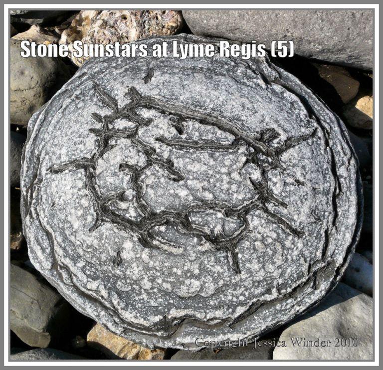Sunstar stone from Lyme Regis, Dorset, UK, on the Jurassic Coast (5)