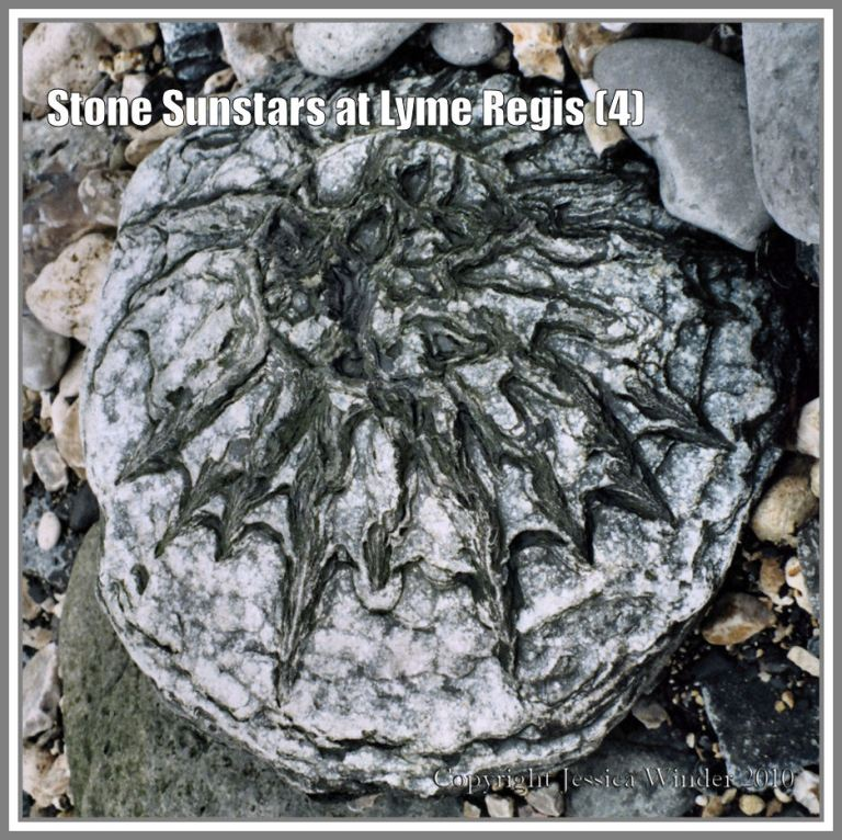 Sunstar stone from Lyme Regis, Dorset, UK, on the Jurassic Coast (4)